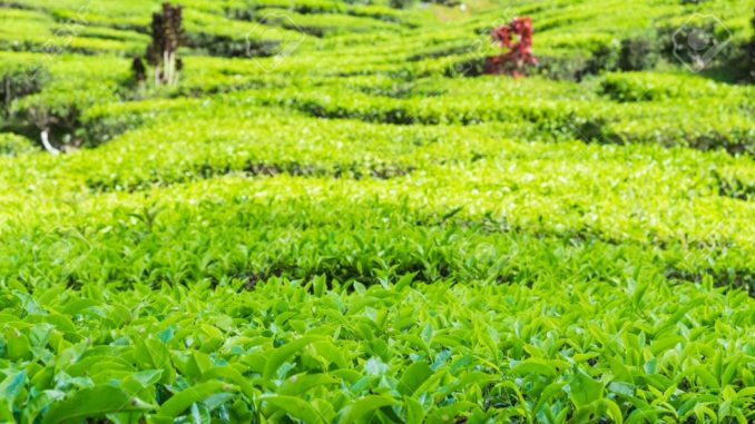 India Tea Exports May Shrink Because Of Tough Competition